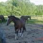 konie-74